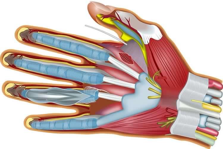 biomeccanica della mano