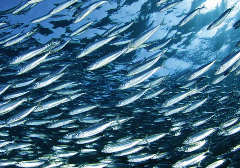 Nutrizione, pesce azzurro